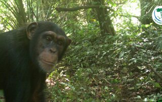 Chimpanzé photographié par un piège photographique de Sylvatrop Consulting